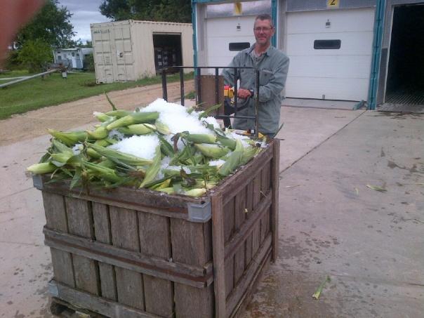 iced corn