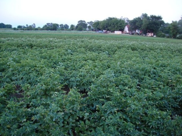 our potato fields