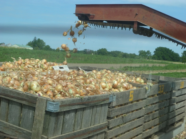 Onions in Flight, about 30,000 lbs total. This took about 3 hours of field time with our old onion harvester