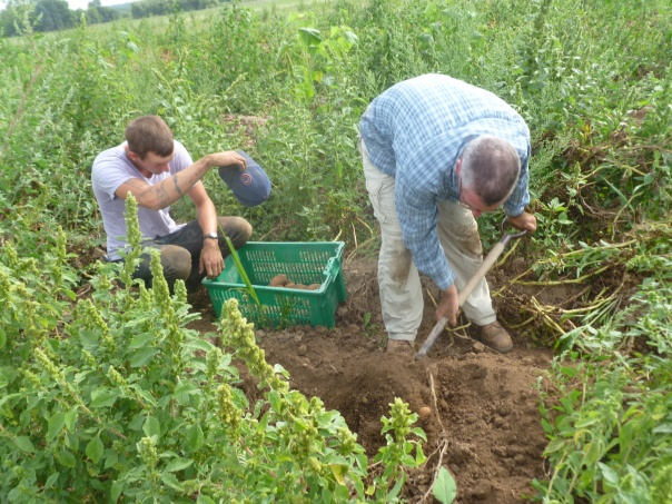 The temperatures rise while Growing Manager Chris Voss (right) test digs for Russet potatoes with the assistance of Crew Coordinator Graham Thomas. It looks like a good potato year