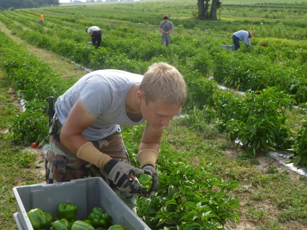 Nigel Wasz (foreground) harvests bell peppers with fellow crew members