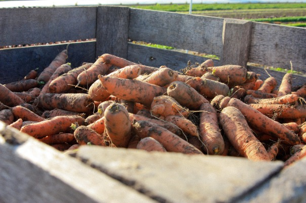 Crunchy Carrots, Photo by Karla Canela