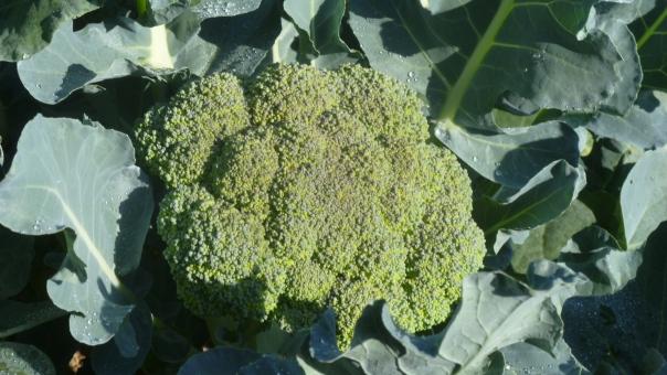 Early Broccoli, Aug 29