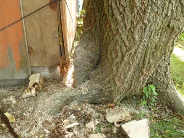 Closeup of the trunk of the tree on the left side of the corn crib, after Pollo sculpted it with a chain saw and wood chisel. The trunk had pushed the siding boards off the frame of the building