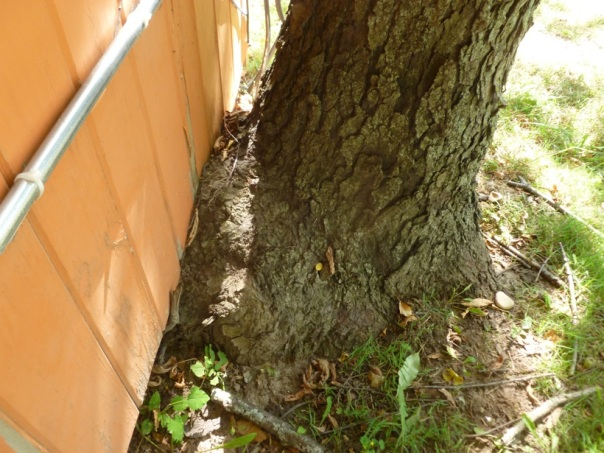 Closeup of the trunk of the tree on the right side of the corn crib. The trunk had grown into the foundation of the crib, destroyed siding, and created an opening under the floor which let in ground squirrels. The ground squirrels chewed through the under-floor hot-water-heating system, causing a dreadful leak. We sawed through the floor inside the office to repair the leak and other water damage that went with it