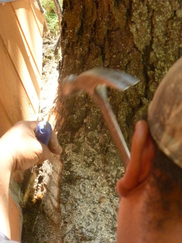 Pollo chisels the tree trunk so we can save the foundation and seal out the ground squirrels