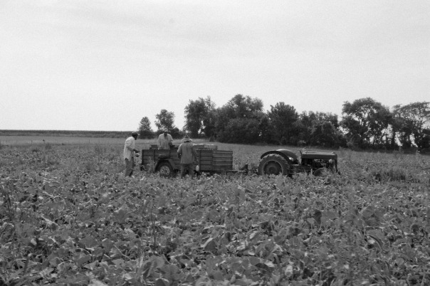 The Casique brothers get the winter squash harvest underway.  Photo by Karla Canela