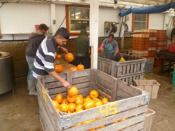 Team Leader Victor Magana (foreground) washes pie pumpkins for your decorating and dining delight