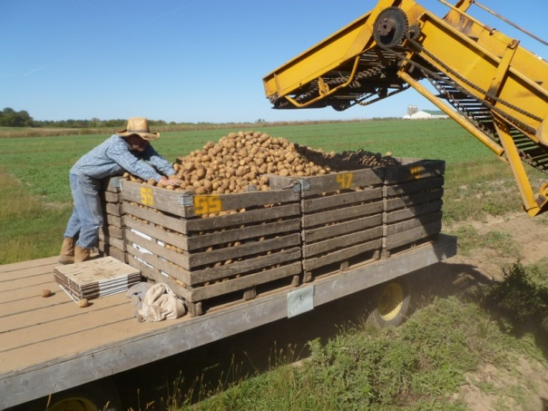 Growing Manager Chris Voss finds a corner in a crib for more potatoes the afternoon before the rains came