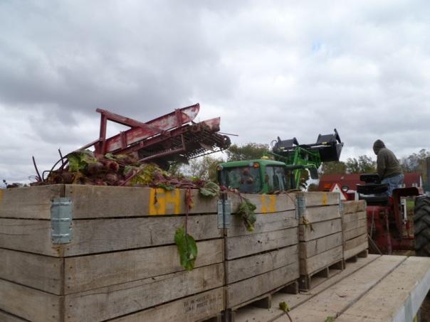 Final Beet Harvest