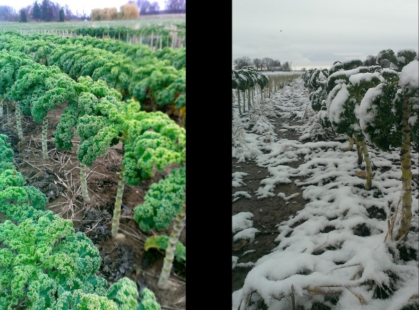 Your Kale before and after the snow