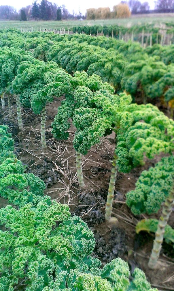Kale Tops