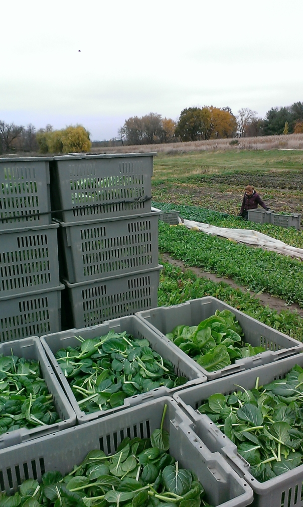 Spinach Harvest, Nov 1. Betty (Primo's wife) in background.