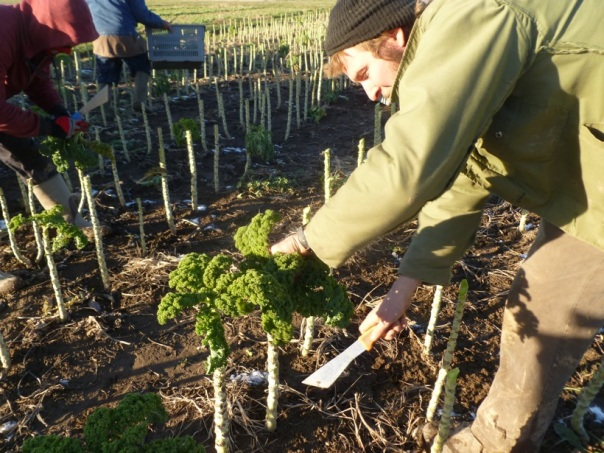 Spencer Ellsworth bushwhacks through the final kale harvest.