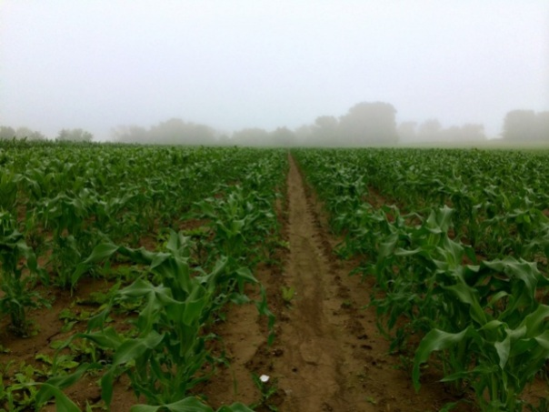 Sweet Corn. The few weeds you see in this photo will probably be gone by the time you are reading this newsletter.
