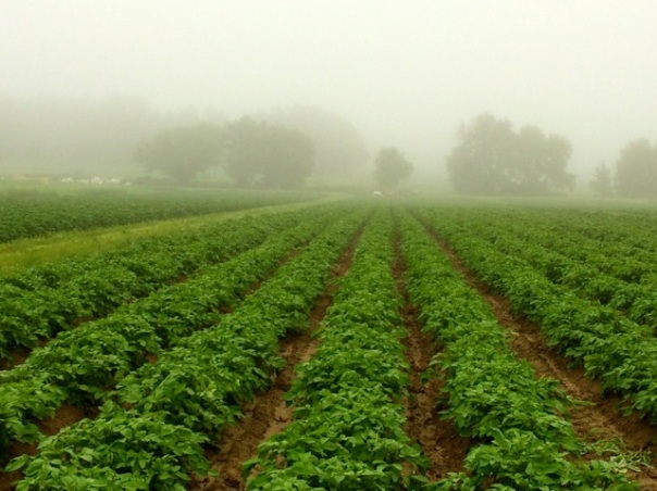 Morning mist rises from our wet potato fields. Within a week, we won't be able to see the soil between these potato plants; the potato vines will have completely filled in the spaces between the rows.