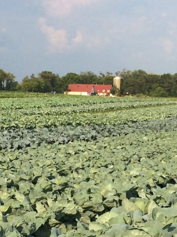 Our Fall Broccoli, Cabbage, Cauliflower and Brussels Sprouts. We'll have broccoli in early September.