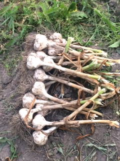 Garlic cures in the field. You'll receive a garlic bulb in your box soon.