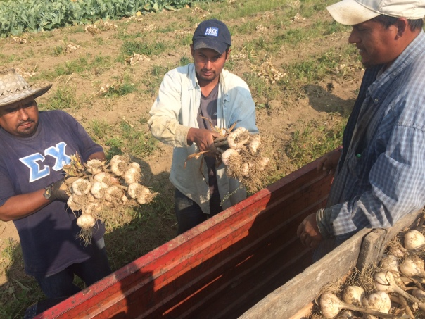 Juan Luis and Angel hand large bulbs of White Porcelain German garlic to Raul.