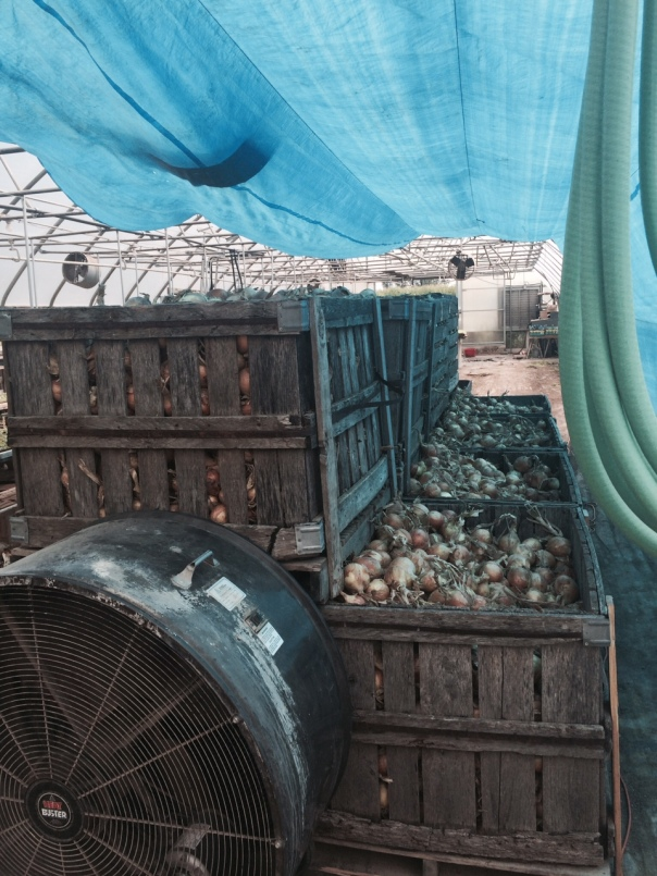 Onion cribs in curing tunnel in greenhouse with high powered fan. Tarp prevents onion sunscald.