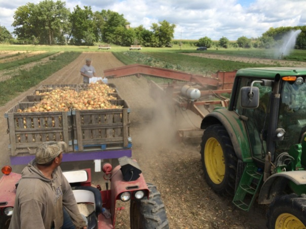 Pollo drives the onion wagon. Primo monitors the harvest. Farmer John drives the John Deere. Irrigation is going in the upper right.