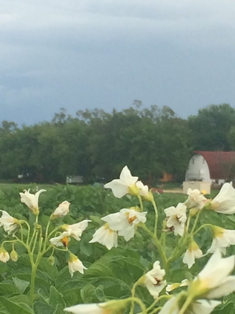 Potatoes in Bloom
