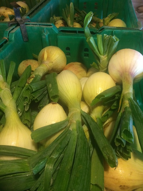 The cool and moist weather this season played an essential role in the size and quality of these sweet onions.