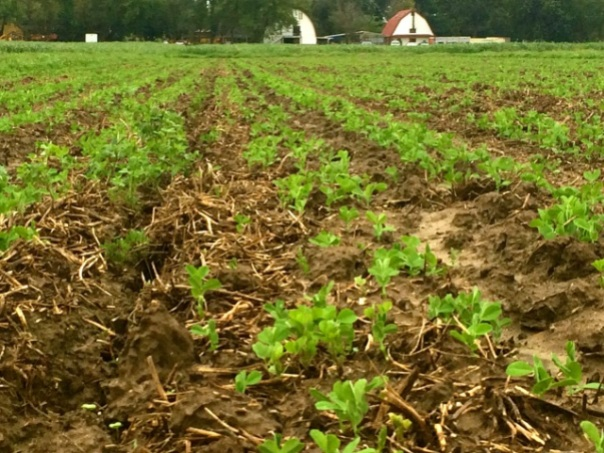 Our fall cover crop- peas and tillage turnips, Sept 11. (Tillage turnips are seeded into these pea fields, but are not yet visible.)