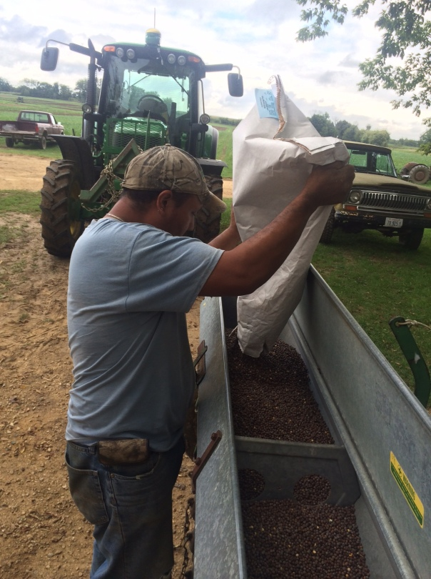 Pollo fills the seeder with fall peas