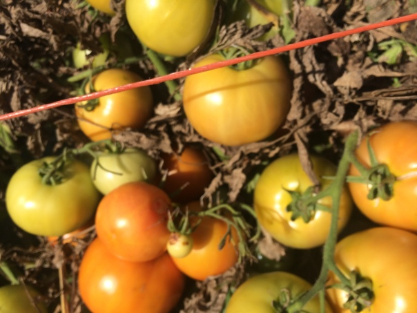Tomato leaves are withering, but the tomatoes are still ripening