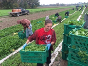Kamin runs to the truck with arugula, while the rest of the crew races the rain to get the crop harvested.