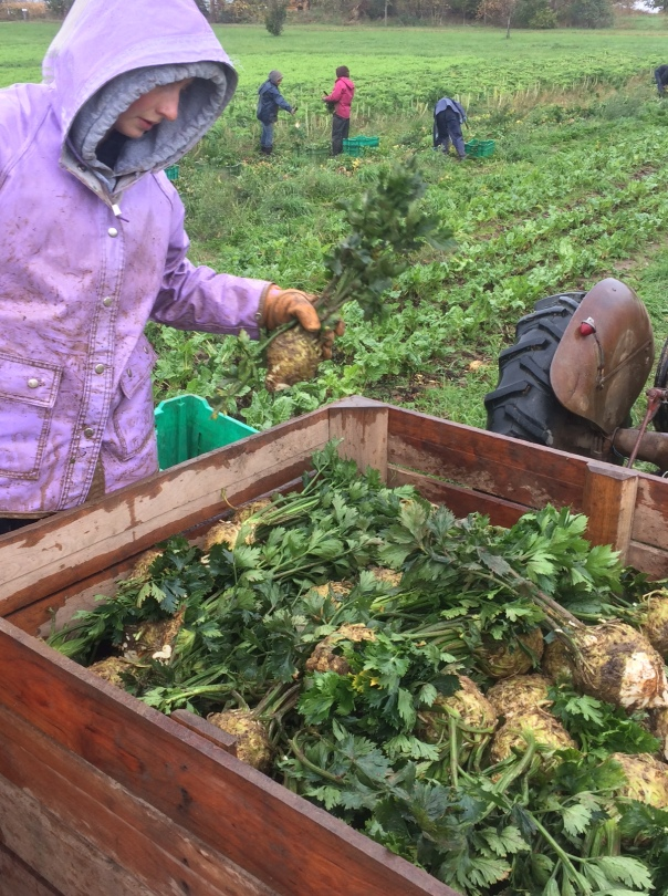 Andrea prepares celeriac for transport on a cold, misty morning