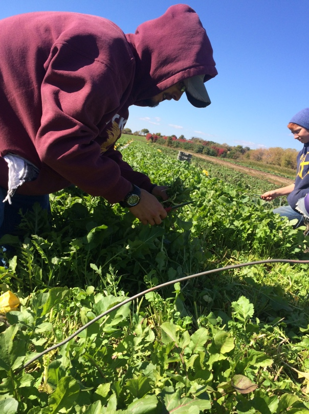 Colton and Andrea harvest arugula mid-day, after the light frost has vanished and the dew has mostly lifted