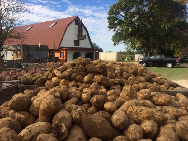 Final potato harvest