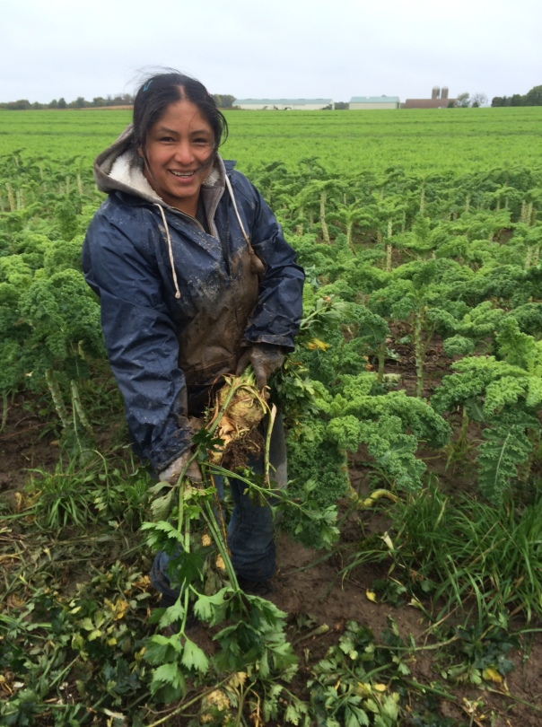 With kale as a backdrop, Araceli muscles through the mud to harvest celeriac