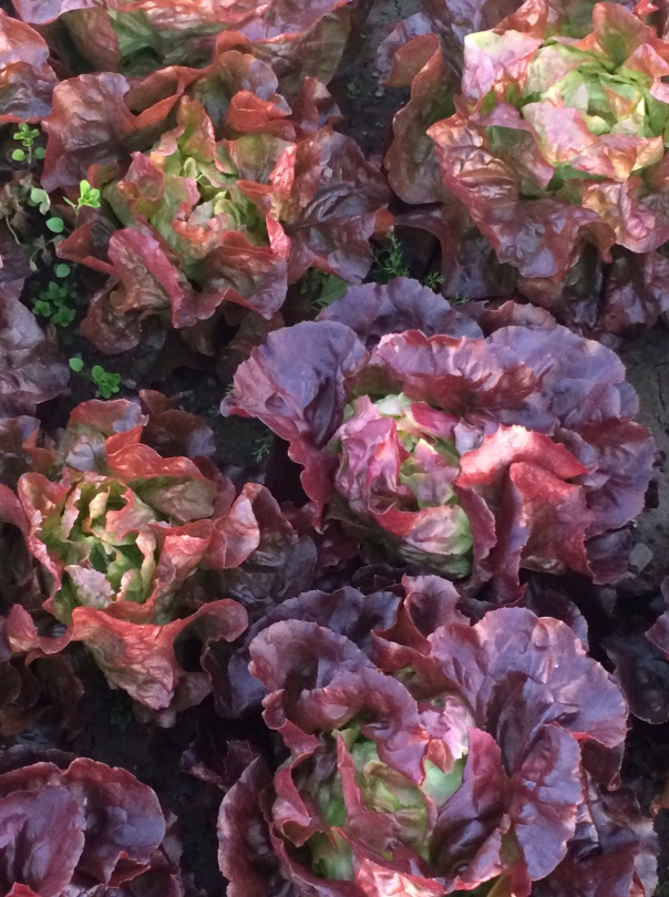 Lettuce flourishes before the frost