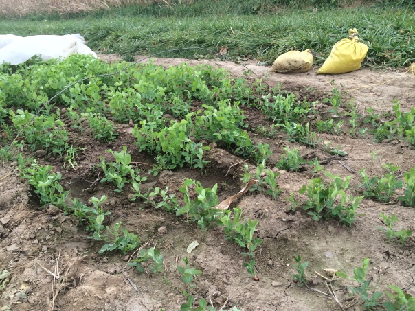 The pea row cover is pulled back, exposing the lush just-uncovered peas on the left, compared to the short peas on the right that were uncovered all fall